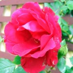 Exploding rose bush…