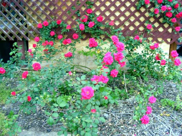 Exploding rose bush!