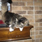 Pierre…the Polydactyl, Maine Coon, Hemingway cat…