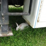 The tail/tale of the White Rabbit.