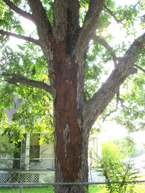 And the Lord mightily smote...our pecan tree