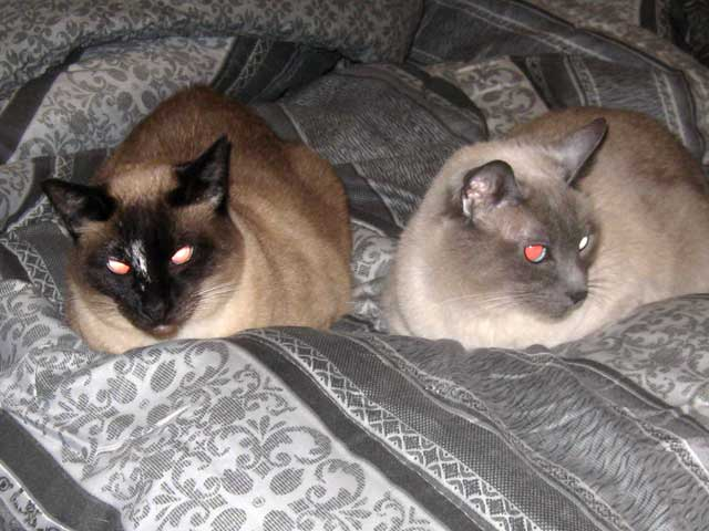 Two new girls in the house...two Siamese cats