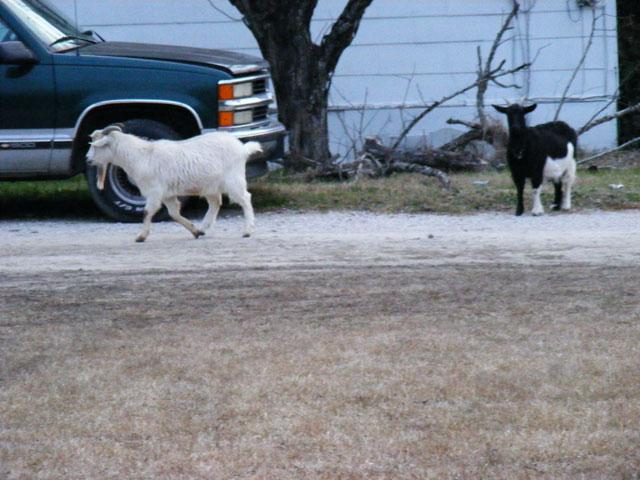 Guest Goats at dawn