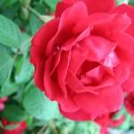 Suddenly…Roses!